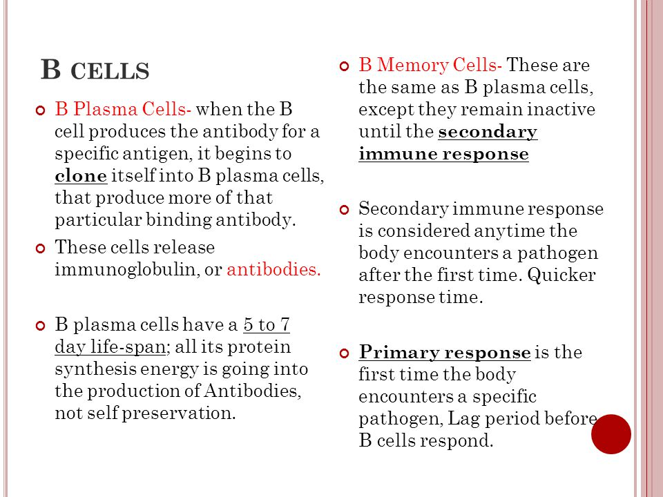 B cells B Memory Cells- These are the same as B plasma cells, except they remain inactive until the secondary immune response.