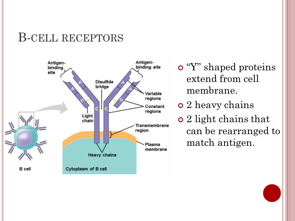 B-cell receptors Y shaped proteins extend from cell membrane.