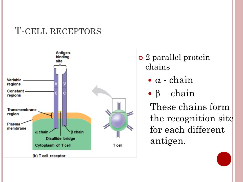 T-cell receptors a - chain b – chain