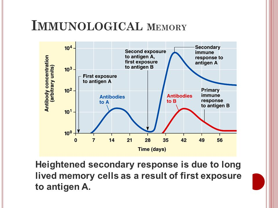 Immunological Memory Heightened secondary response is due to long lived memory cells as a result of first exposure to antigen A.