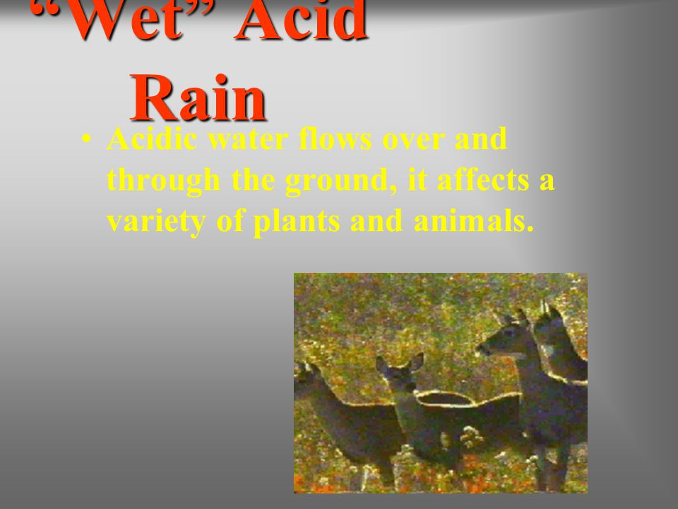 Wet Acid Rain Acidic water flows over and through the ground, it affects a variety of plants and animals.