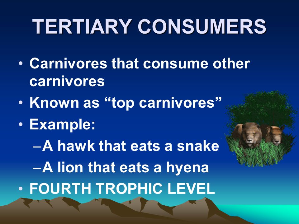 TERTIARY CONSUMERS Carnivores that consume other carnivores