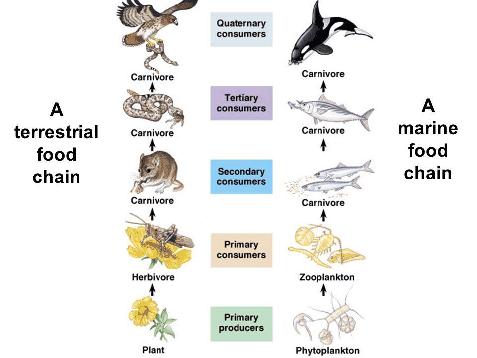 A terrestrial food chain