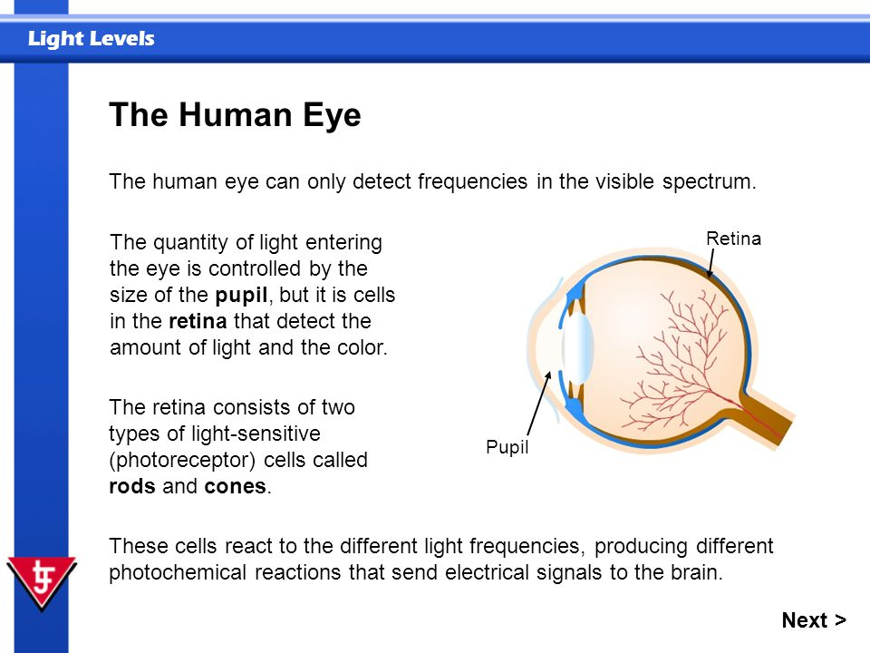The Human Eye The human eye can only detect frequencies in the visible spectrum.