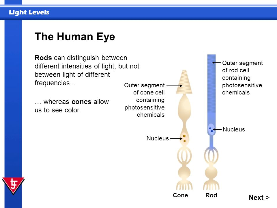 The Human Eye Rods can distinguish between different intensities of light, but not between light of different frequencies…
