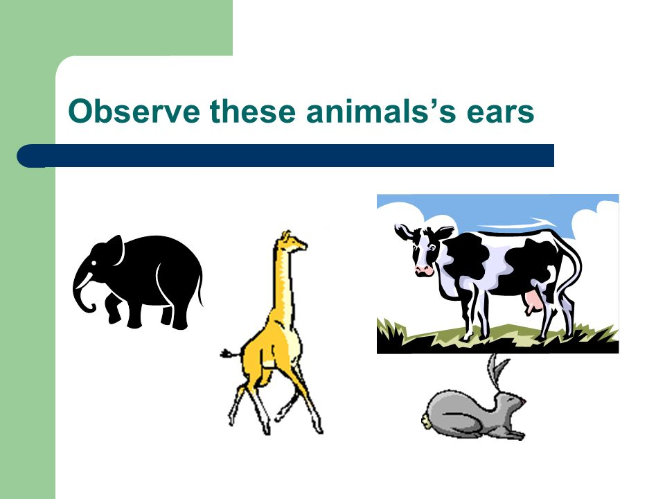 Observe these animals's ears
