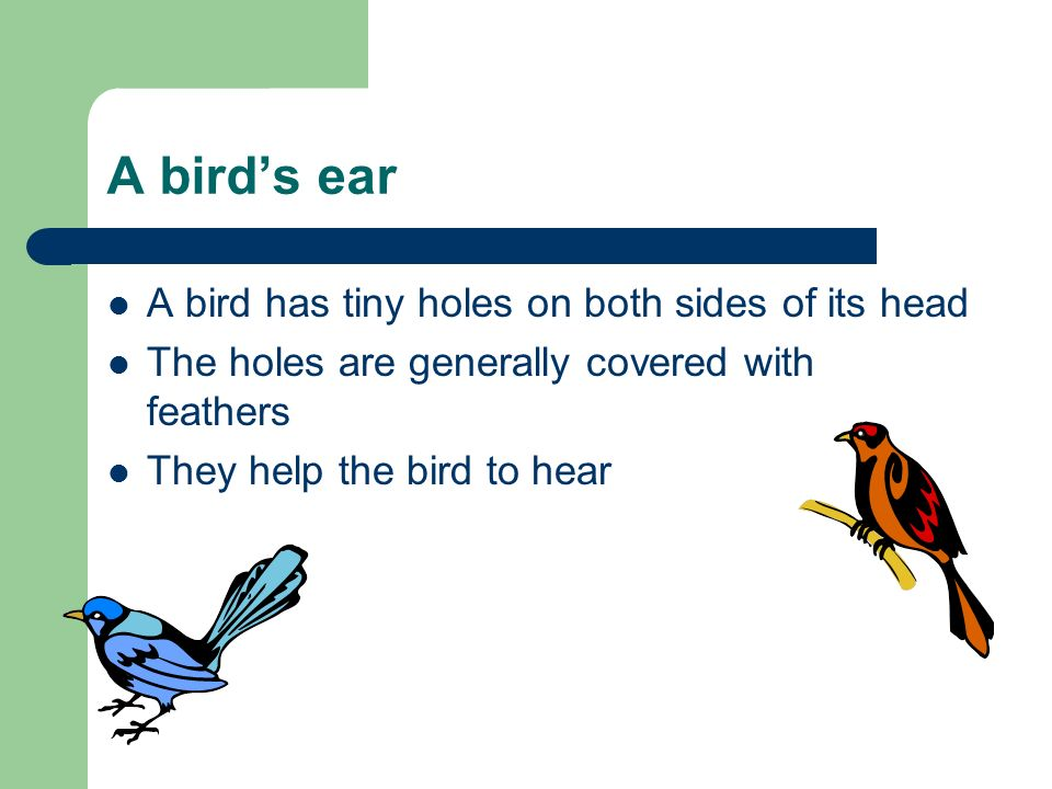 A bird's ear A bird has tiny holes on both sides of its head