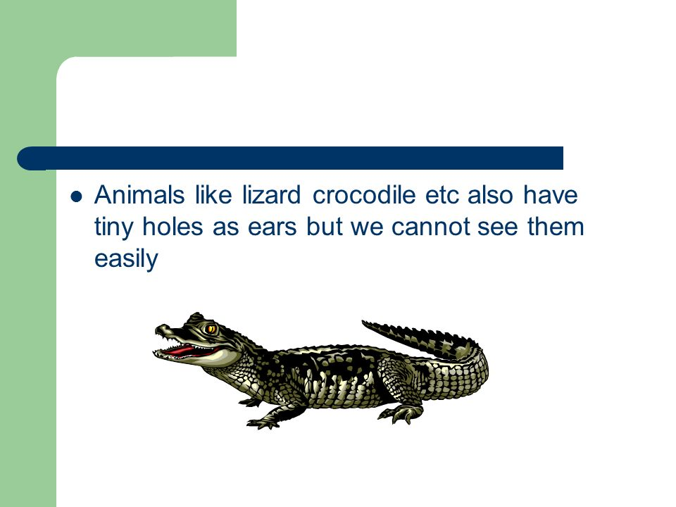 Animals like lizard crocodile etc also have tiny holes as ears but we cannot see them easily