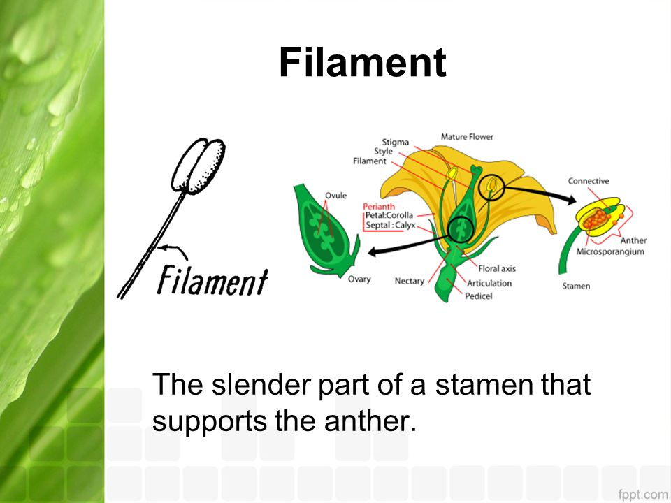 Filament The slender part of a stamen that supports the anther.