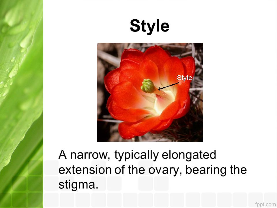 Style A narrow, typically elongated extension of the ovary, bearing the stigma.