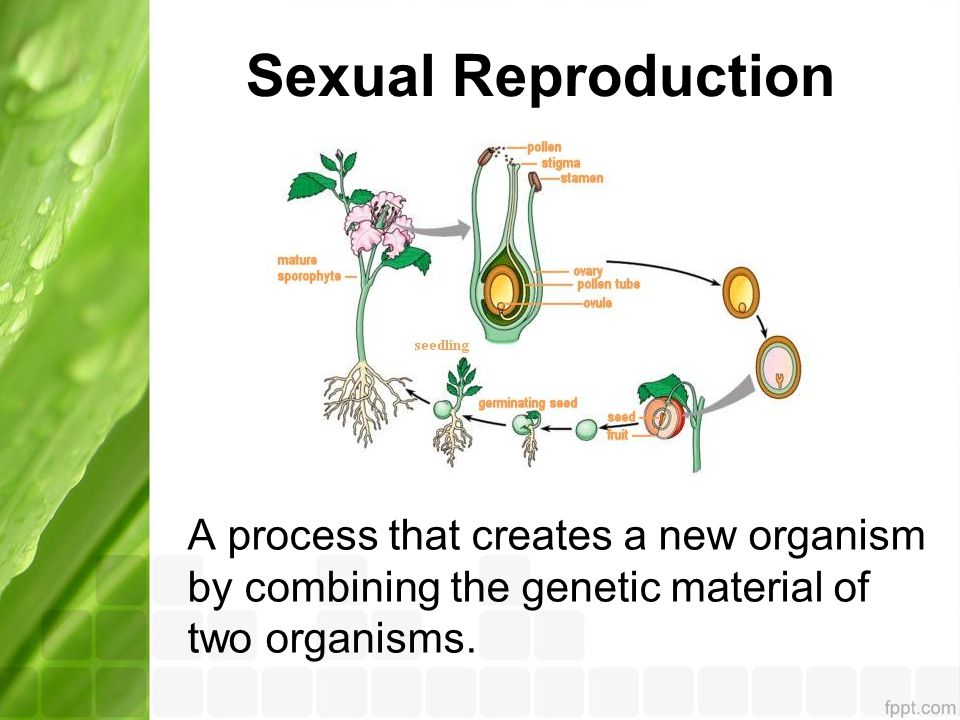 Sexual Reproduction A process that creates a new organism by combining the genetic material of two organisms.
