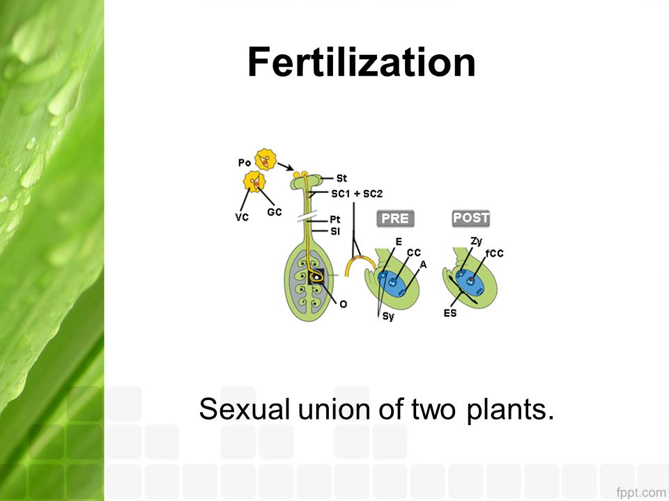 Sexual union of two plants.