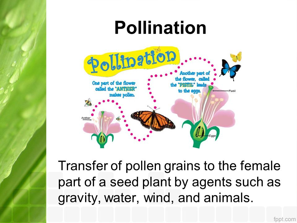 Pollination Transfer of pollen grains to the female part of a seed plant by agents such as gravity, water, wind, and animals.