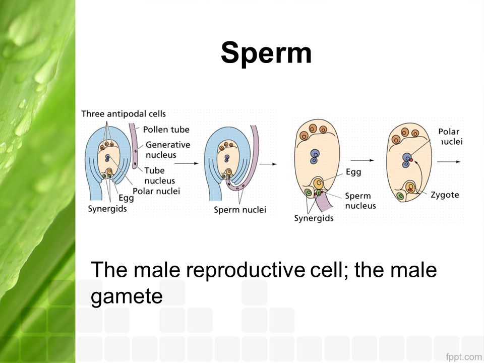 Sperm The male reproductive cell; the male gamete