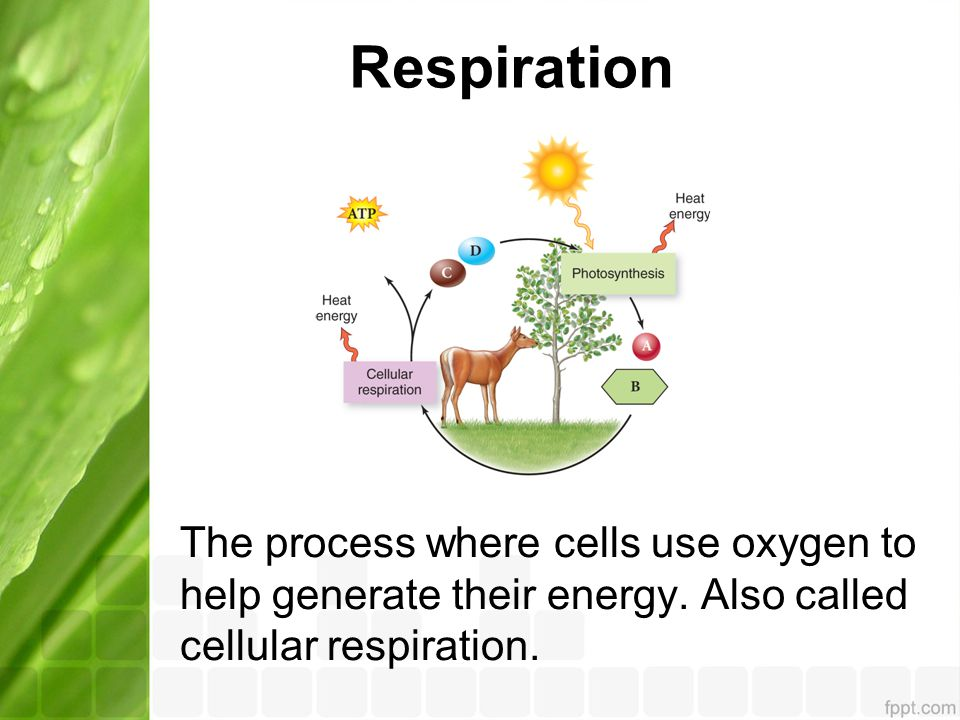 Respiration The process where cells use oxygen to help generate their energy.