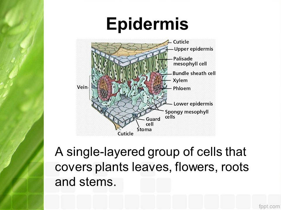 Epidermis A single-layered group of cells that covers plants leaves, flowers, roots and stems.