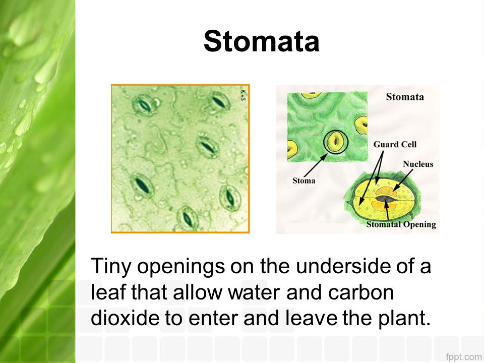Stomata Tiny openings on the underside of a leaf that allow water and carbon dioxide to enter and leave the plant.