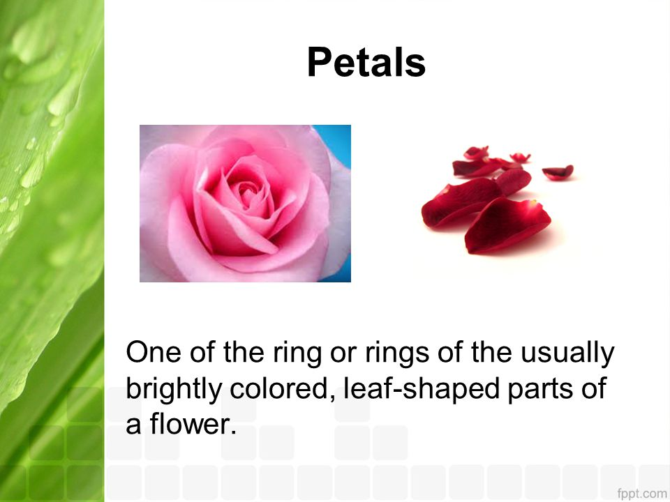 Petals One of the ring or rings of the usually brightly colored, leaf-shaped parts of a flower.