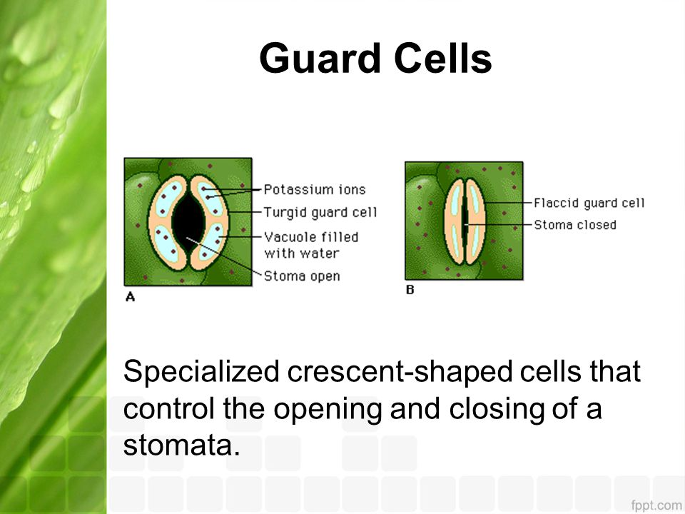Guard Cells Specialized crescent-shaped cells that control the opening and closing of a stomata.
