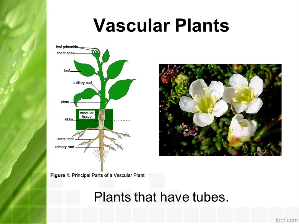 Vascular Plants Plants that have tubes.