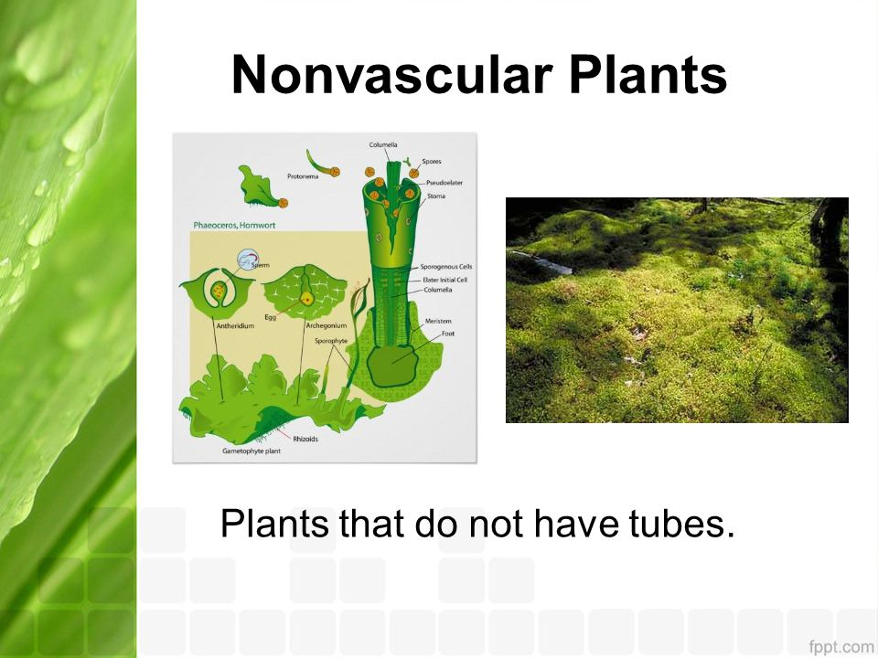 Nonvascular Plants Plants that do not have tubes.