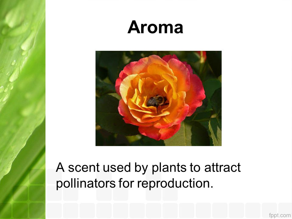 Aroma A scent used by plants to attract pollinators for reproduction.