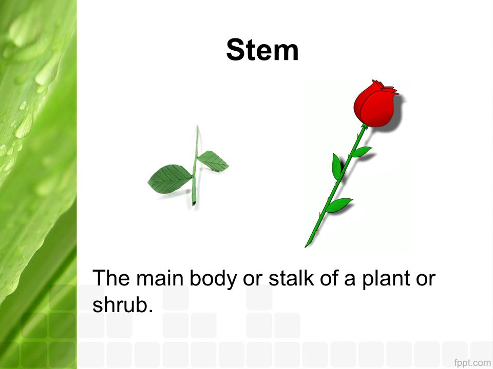 Stem The main body or stalk of a plant or shrub.