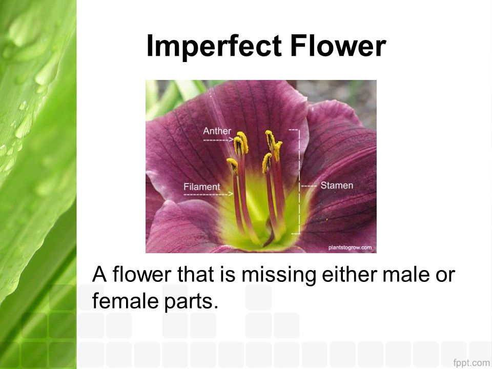 Imperfect Flower A flower that is missing either male or female parts.