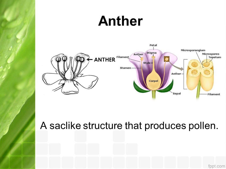 Anther A saclike structure that produces pollen.