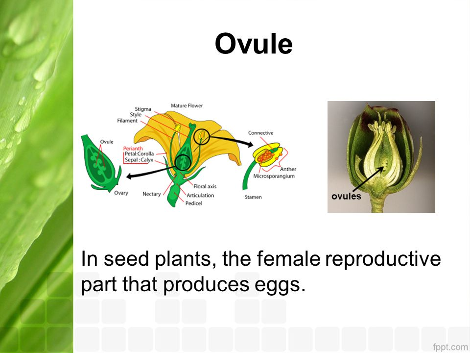 Ovule In seed plants, the female reproductive part that produces eggs.