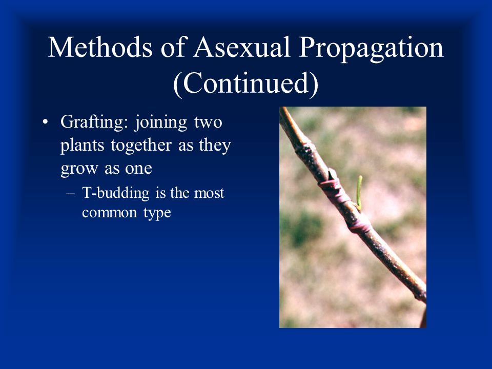 Methods of Asexual Propagation (Continued)