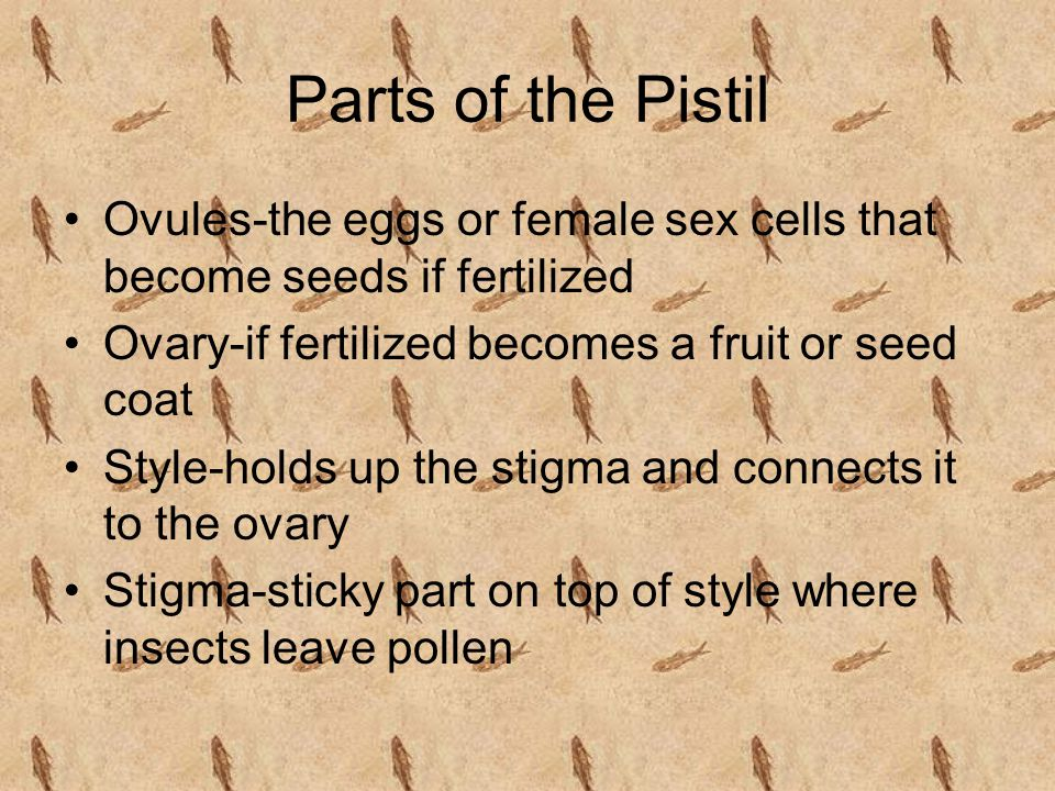 Parts of the Pistil Ovules-the eggs or female sex cells that become seeds if fertilized. Ovary-if fertilized becomes a fruit or seed coat.