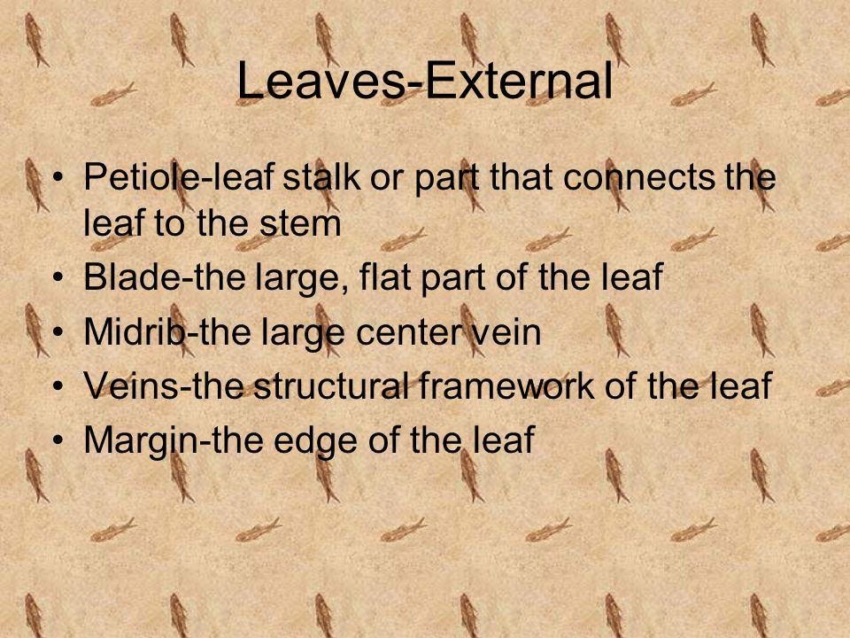 Leaves-External Petiole-leaf stalk or part that connects the leaf to the stem. Blade-the large, flat part of the leaf.