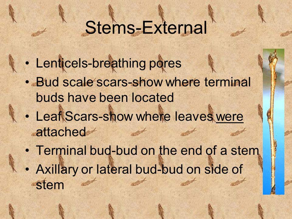 Stems-External Lenticels-breathing pores