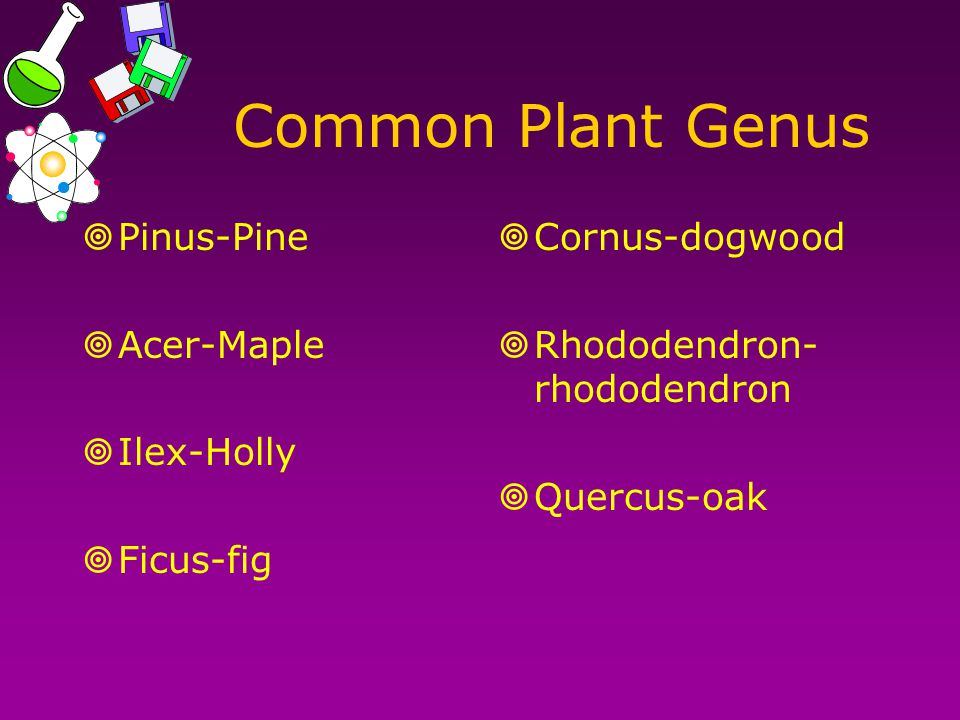 Common Plant Genus Pinus-Pine Acer-Maple Ilex-Holly Ficus-fig