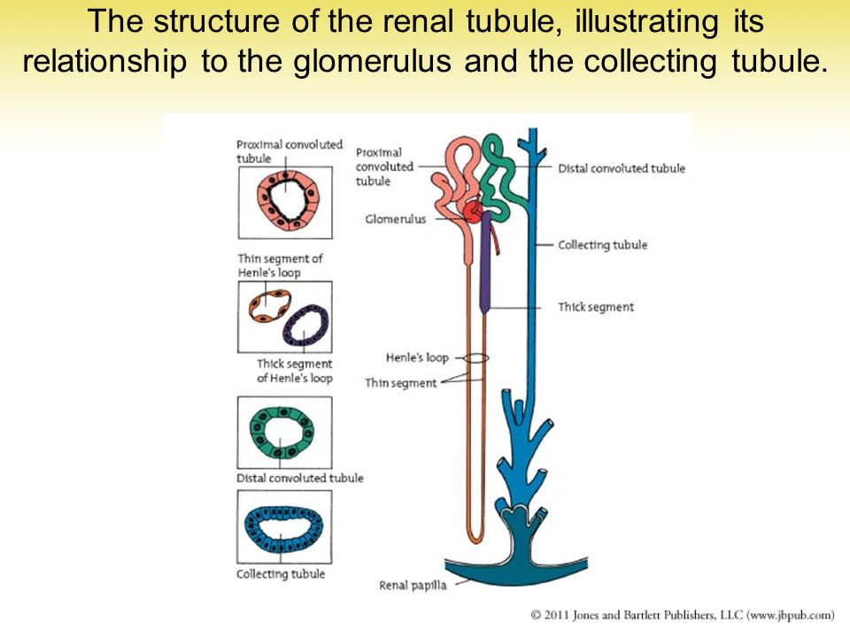 The structure of the renal tubule, illustrating its relationship to the glomerulus and the collecting tubule.