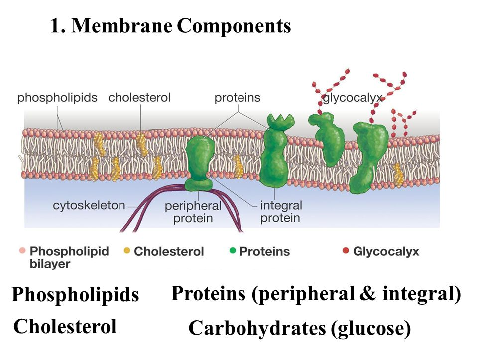 Proteins (peripheral & integral)