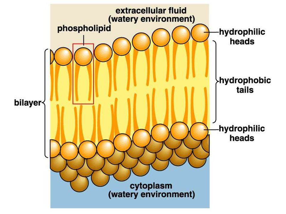 Figure 04.UN00b Title: A phospholipid Caption: A phospholipid bilayer.