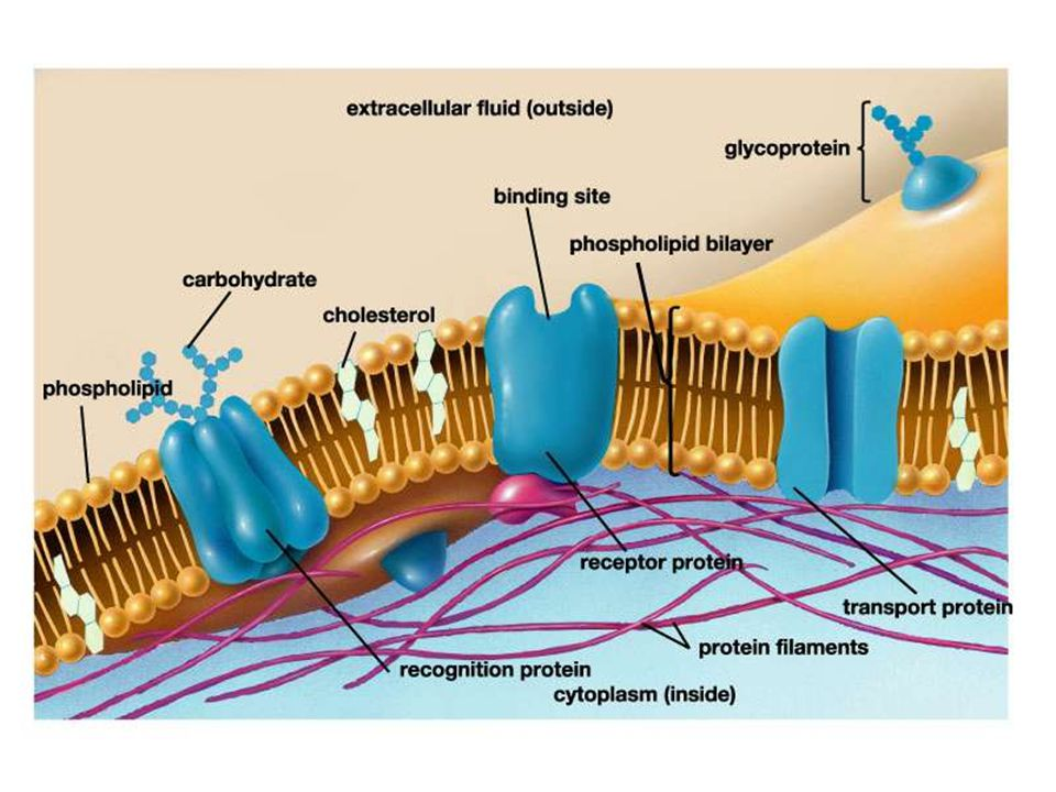 Figure 04.1 Title: The plasma membrane is a fluid mosaic. Caption: