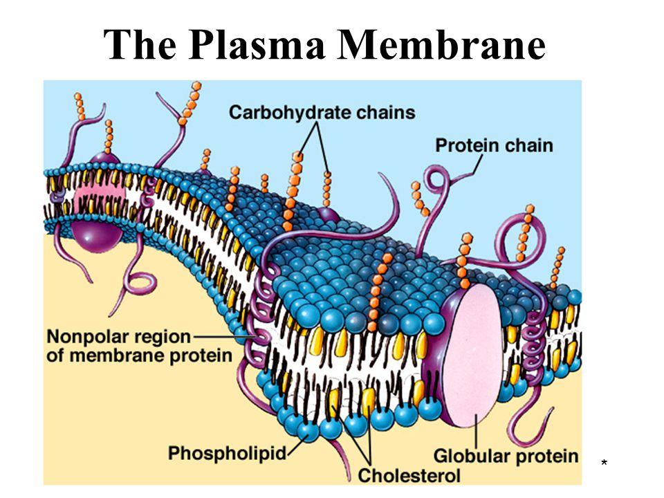The Plasma Membrane *