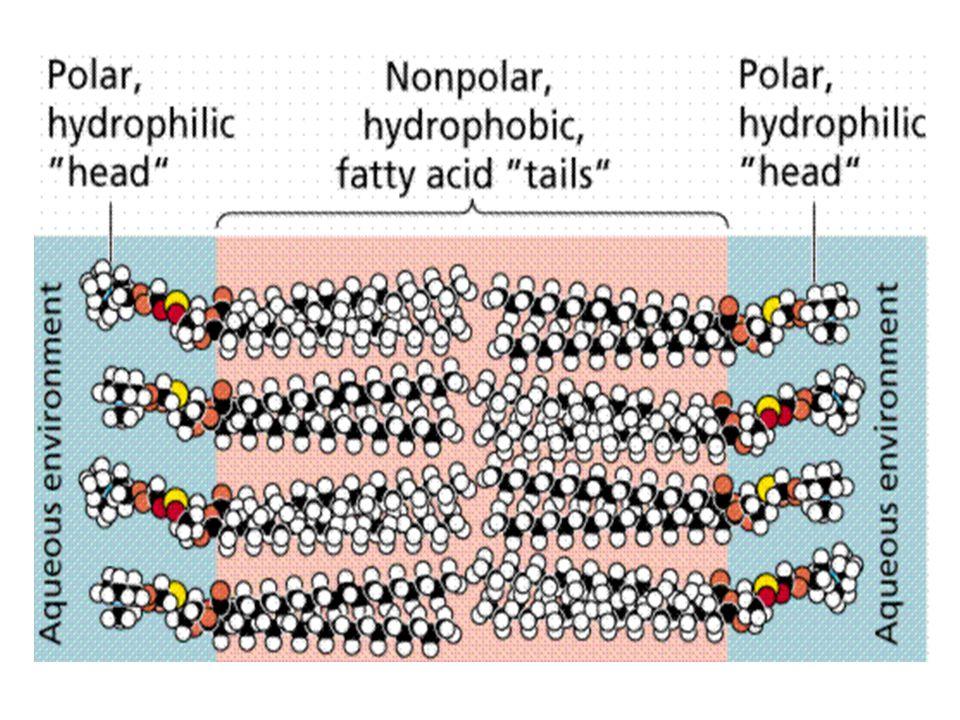 The Plasma Membrane G. Podgorski, Biol. 1010 The Plasma Membrane *