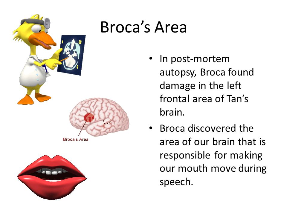 Broca's Area In post-mortem autopsy, Broca found damage in the left frontal area of Tan's brain.