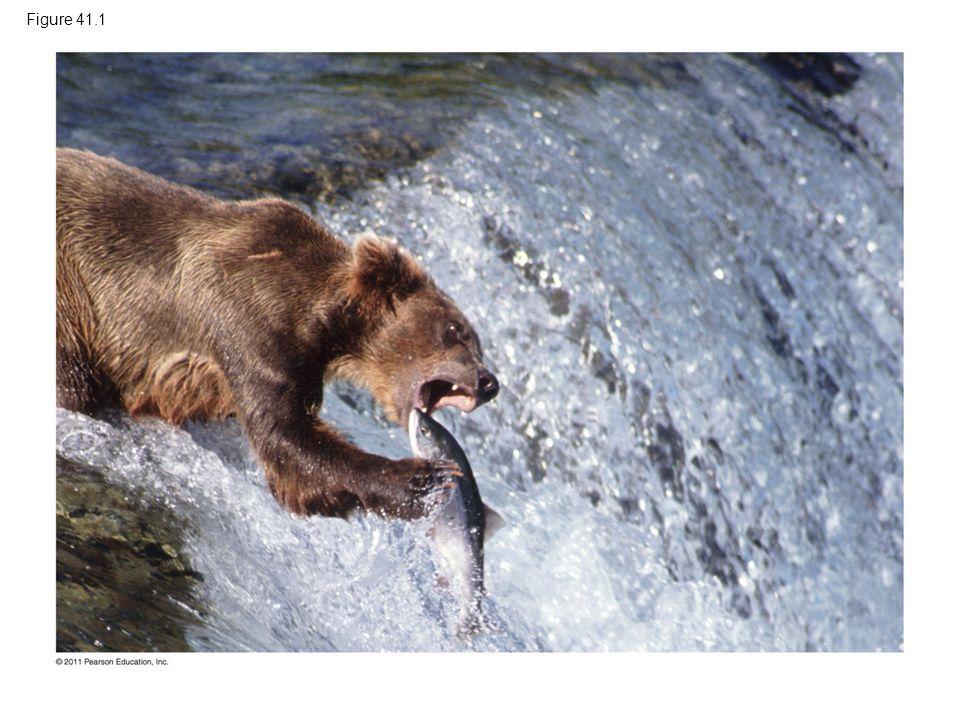 Figure 41.1 Figure 41.1 How does a lean fish help a bear make fat