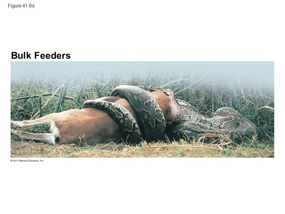 Figure 41.6d Bulk Feeders Figure 41.6 Exploring: Four Main Feeding Mechanisms of Animals