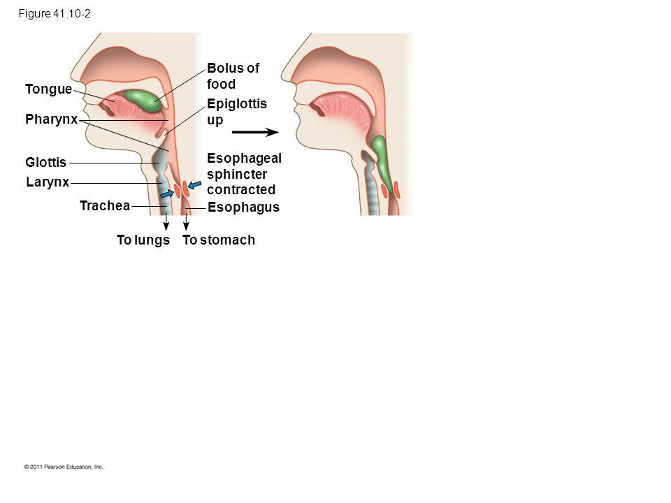 Bolus of food Tongue Epiglottis up Pharynx Glottis Esophageal