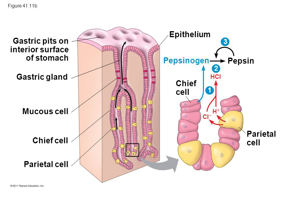 Epithelium Gastric pits on interior surface of stomach Pepsinogen