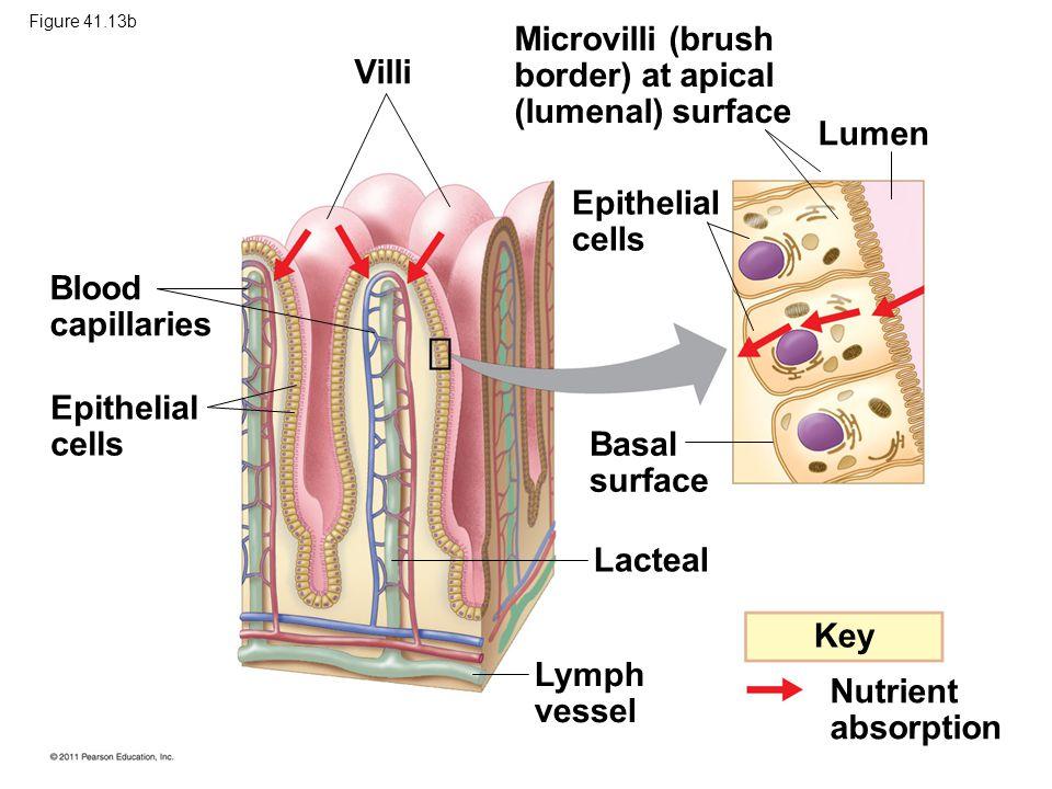 Microvilli (brush border) at apical Villi (lumenal) surface Lumen