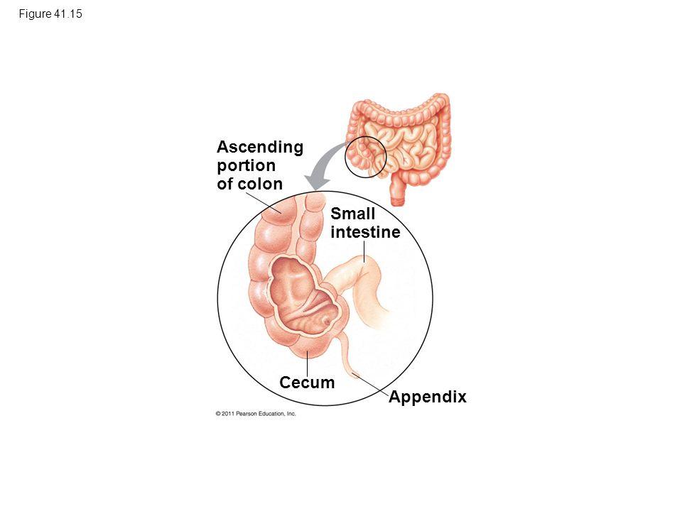 Ascending portion of colon Small intestine Cecum Appendix Figure 41.15