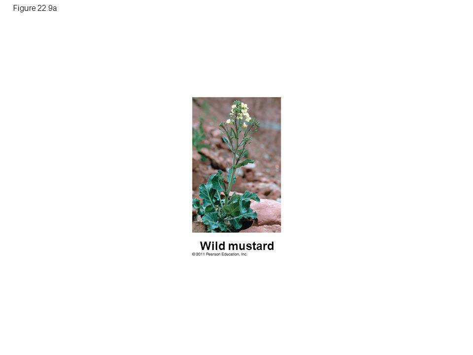 Figure 22.9a Figure 22.9 Artificial selection. Wild mustard