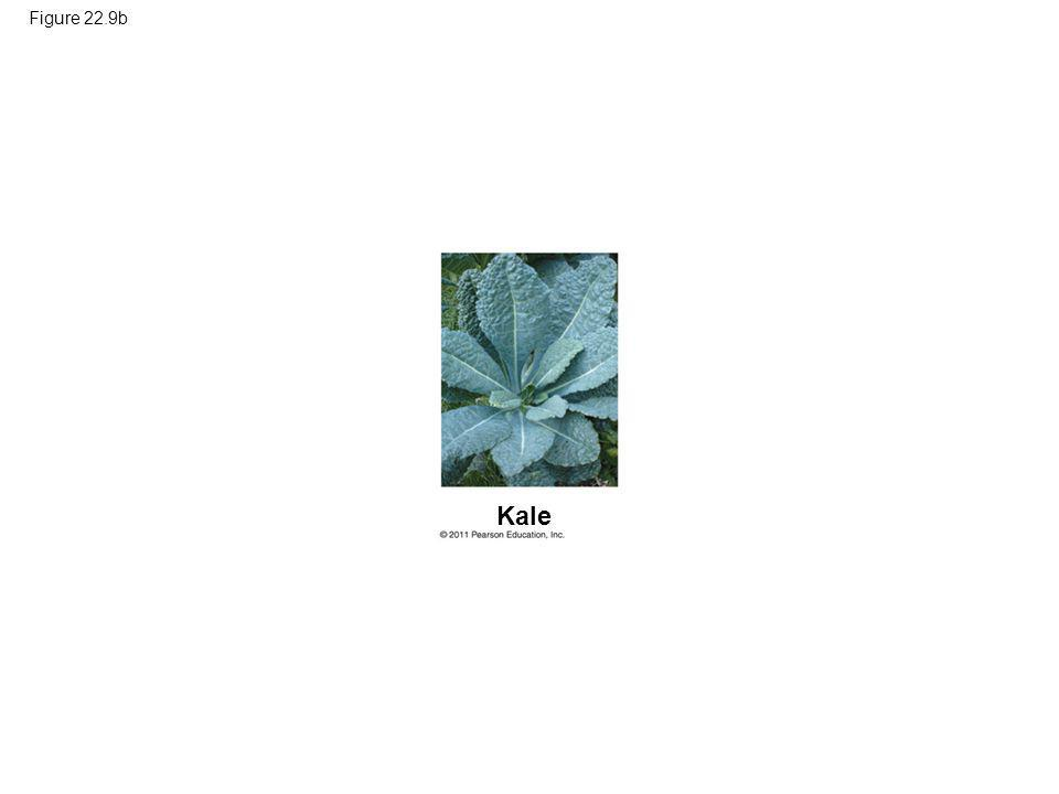 Figure 22.9b Figure 22.9 Artificial selection. Kale